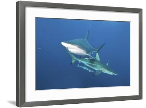 Oceanic Blacktip Sharks with Remora in the Waters of Aliwal Shoal, South Africa-Stocktrek Images-Framed Art Print