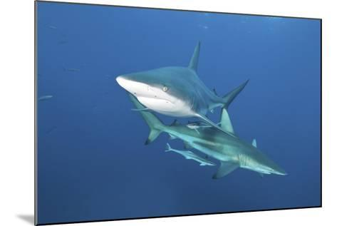 Oceanic Blacktip Sharks with Remora in the Waters of Aliwal Shoal, South Africa-Stocktrek Images-Mounted Photographic Print