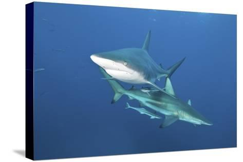 Oceanic Blacktip Sharks with Remora in the Waters of Aliwal Shoal, South Africa-Stocktrek Images-Stretched Canvas Print