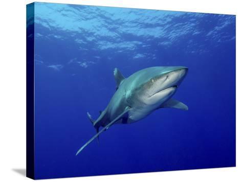 Oceanic Whitetip Shark, Cat Island, Bahamas-Stocktrek Images-Stretched Canvas Print
