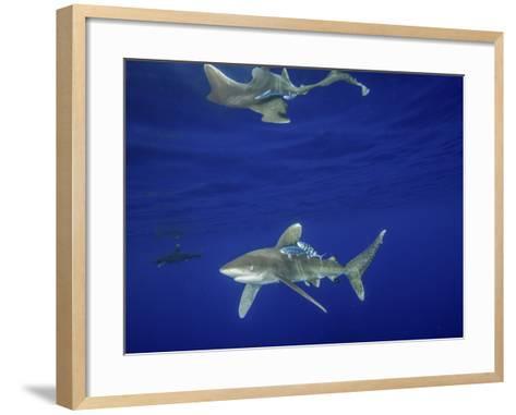 Oceanic Whitetip Shark with Reflection, Cat Island, Bahamas-Stocktrek Images-Framed Art Print