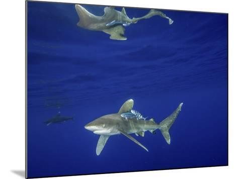 Oceanic Whitetip Shark with Reflection, Cat Island, Bahamas-Stocktrek Images-Mounted Photographic Print