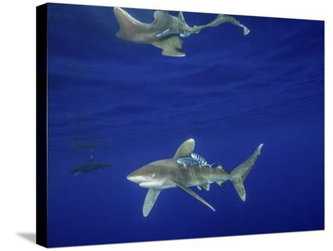 Oceanic Whitetip Shark with Reflection, Cat Island, Bahamas-Stocktrek Images-Stretched Canvas Print