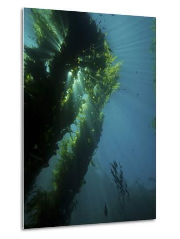 Kelp Forest with School of Fish-Stocktrek Images-Metal Print