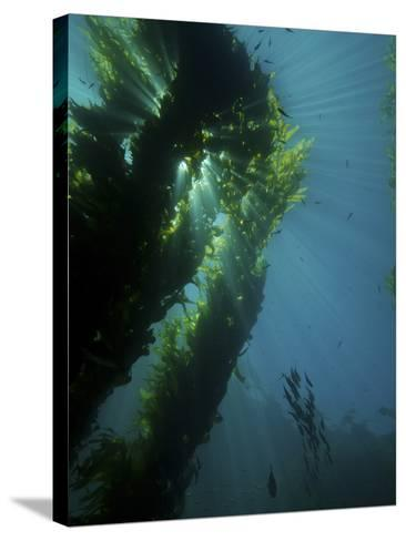 Kelp Forest with School of Fish-Stocktrek Images-Stretched Canvas Print