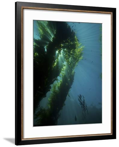 Kelp Forest with School of Fish-Stocktrek Images-Framed Art Print