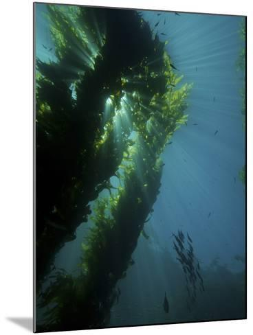 Kelp Forest with School of Fish-Stocktrek Images-Mounted Photographic Print