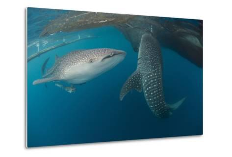 Pair of Whale Sharks Swimming around Near the Surface under Fishing Nets-Stocktrek Images-Metal Print