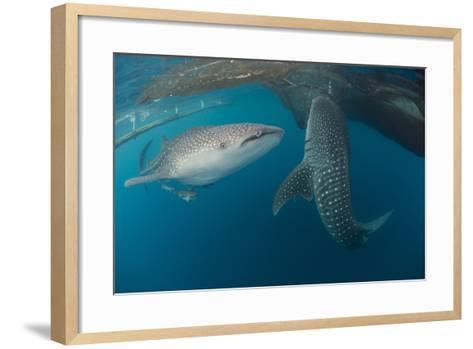 Pair of Whale Sharks Swimming around Near the Surface under Fishing Nets-Stocktrek Images-Framed Art Print