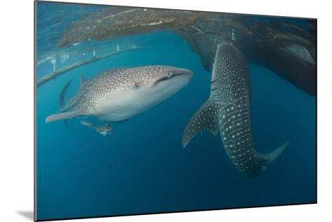 Pair of Whale Sharks Swimming around Near the Surface under Fishing Nets-Stocktrek Images-Mounted Photographic Print