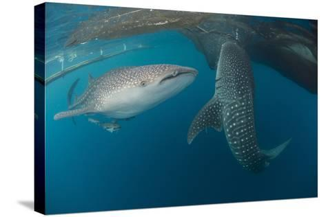 Pair of Whale Sharks Swimming around Near the Surface under Fishing Nets-Stocktrek Images-Stretched Canvas Print