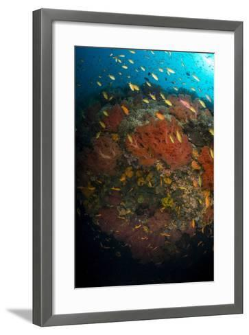 School of Anthias Fish Swimming over Colorful Soft Coral, Philippines-Stocktrek Images-Framed Art Print