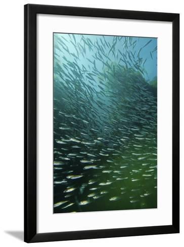 School of Pacific Sardines in Kelp Forest-Stocktrek Images-Framed Art Print