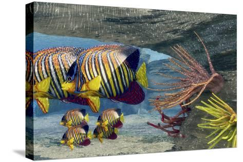 Adult Royal Angelfish Parents Guarding their Young-Stocktrek Images-Stretched Canvas Print