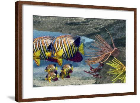 Adult Royal Angelfish Parents Guarding their Young-Stocktrek Images-Framed Art Print