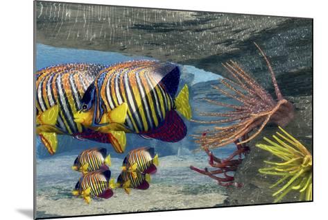 Adult Royal Angelfish Parents Guarding their Young-Stocktrek Images-Mounted Art Print