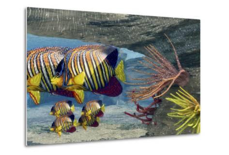 Adult Royal Angelfish Parents Guarding their Young-Stocktrek Images-Metal Print