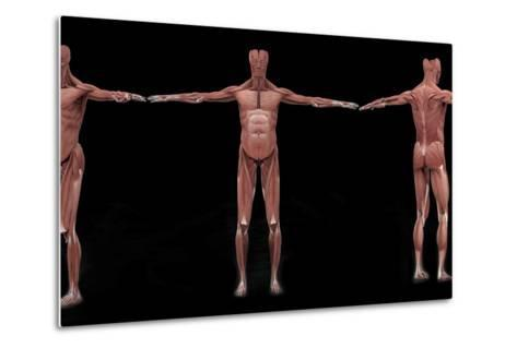 3D Rendering of Male Muscular System at Different Angles-Stocktrek Images-Metal Print