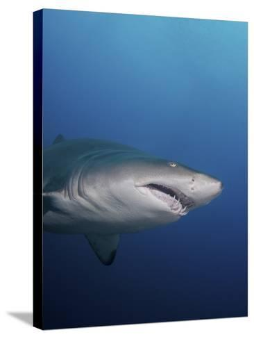 A Sand Tiger Shark Off the Coast of North Carolina-Stocktrek Images-Stretched Canvas Print