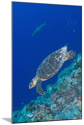 Hawksbill Sea Turtle at the Edge of a Wall with Sharks-Stocktrek Images-Mounted Photographic Print