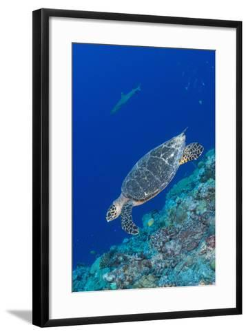 Hawksbill Sea Turtle at the Edge of a Wall with Sharks-Stocktrek Images-Framed Art Print