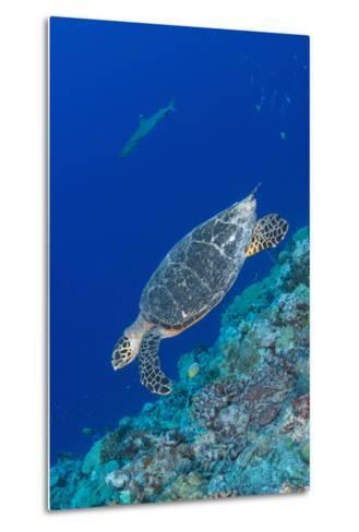 Hawksbill Sea Turtle at the Edge of a Wall with Sharks-Stocktrek Images-Metal Print