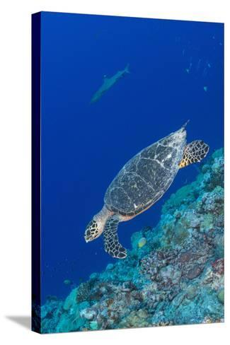 Hawksbill Sea Turtle at the Edge of a Wall with Sharks-Stocktrek Images-Stretched Canvas Print