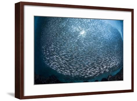 Massive School of Millions of Sardines Forming a Ball Underwater-Stocktrek Images-Framed Art Print