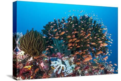School of Anthias Fish Swimming over a Colorful Reef-Stocktrek Images-Stretched Canvas Print