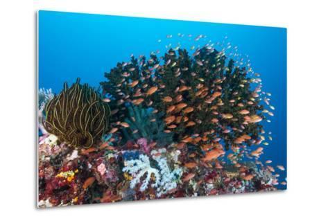 School of Anthias Fish Swimming over a Colorful Reef-Stocktrek Images-Metal Print