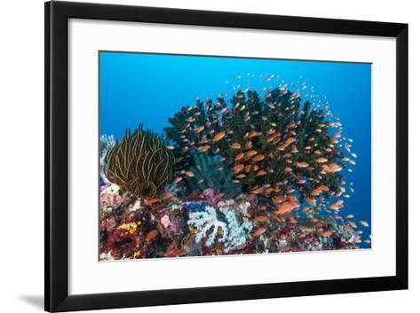 School of Anthias Fish Swimming over a Colorful Reef-Stocktrek Images-Framed Art Print