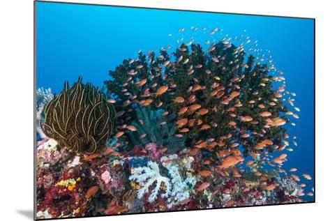 School of Anthias Fish Swimming over a Colorful Reef-Stocktrek Images-Mounted Photographic Print