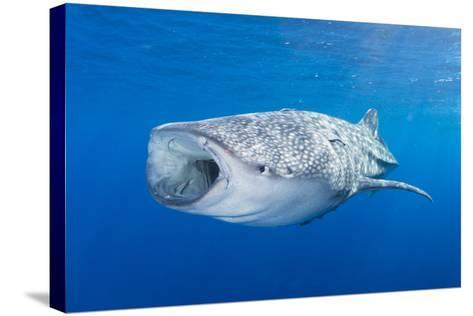 Whale Shark Descending to the Depths with Mouth Wide Open-Stocktrek Images-Stretched Canvas Print