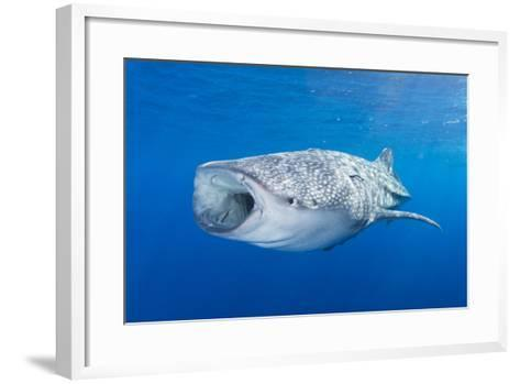 Whale Shark Descending to the Depths with Mouth Wide Open-Stocktrek Images-Framed Art Print