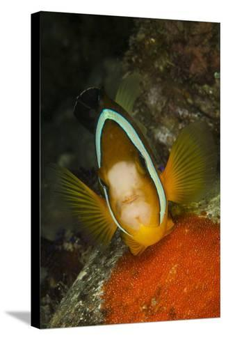 Clownfish Defending its Clutch of Red Eggs, Philippines-Stocktrek Images-Stretched Canvas Print
