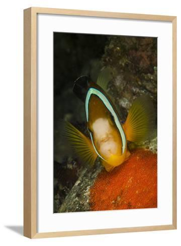 Clownfish Defending its Clutch of Red Eggs, Philippines-Stocktrek Images-Framed Art Print