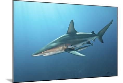 Oceanic Blacktip Shark with Remora in the Waters of Aliwal Shoal, South Africa-Stocktrek Images-Mounted Photographic Print