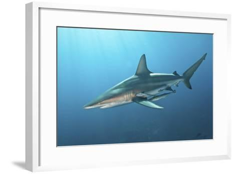 Oceanic Blacktip Shark with Remora in the Waters of Aliwal Shoal, South Africa-Stocktrek Images-Framed Art Print