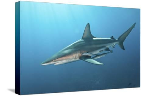 Oceanic Blacktip Shark with Remora in the Waters of Aliwal Shoal, South Africa-Stocktrek Images-Stretched Canvas Print
