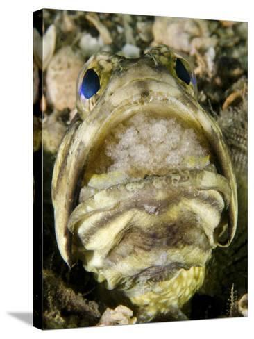 A Male Jawfish with a Brood of Incubating Eggs in His Mouth-Stocktrek Images-Stretched Canvas Print