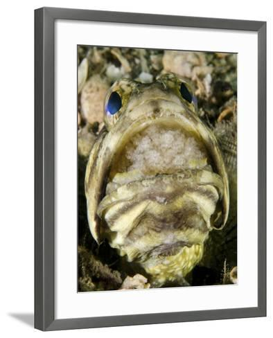 A Male Jawfish with a Brood of Incubating Eggs in His Mouth-Stocktrek Images-Framed Art Print