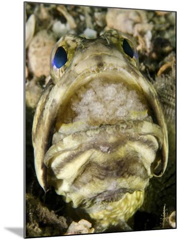 A Male Jawfish with a Brood of Incubating Eggs in His Mouth-Stocktrek Images-Mounted Photographic Print
