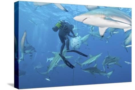Oceanic Blacktip Sharks Waiting for Food from a Diver Near a Bait Ball-Stocktrek Images-Stretched Canvas Print
