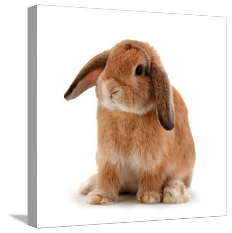 Rabbit Isolated on a White Background-evegenesis-Stretched Canvas Print