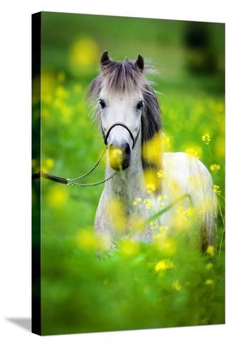 Portrait of Shetland Pony on Green Background.-Alexia Khruscheva-Stretched Canvas Print
