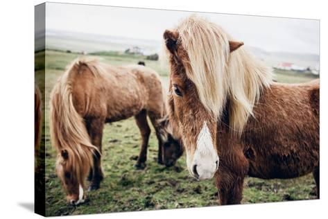 Icelandic Horses-Andrew Bayda-Stretched Canvas Print