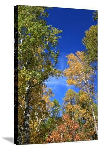 Autumn. Birch Tops against Blue Sky-???????? ??????-Stretched Canvas Print