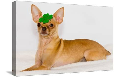 Chihuahua with Clover on Head.- photorebelle-Stretched Canvas Print