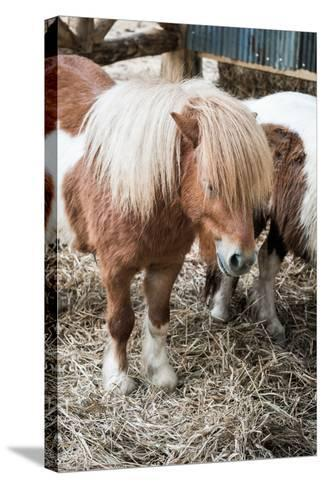 Brown Miniature Horse with Long Hair- crazybboy-Stretched Canvas Print