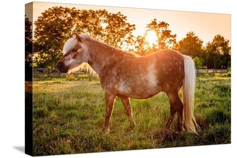 Shetland Pony-Alexey Stiop-Stretched Canvas Print